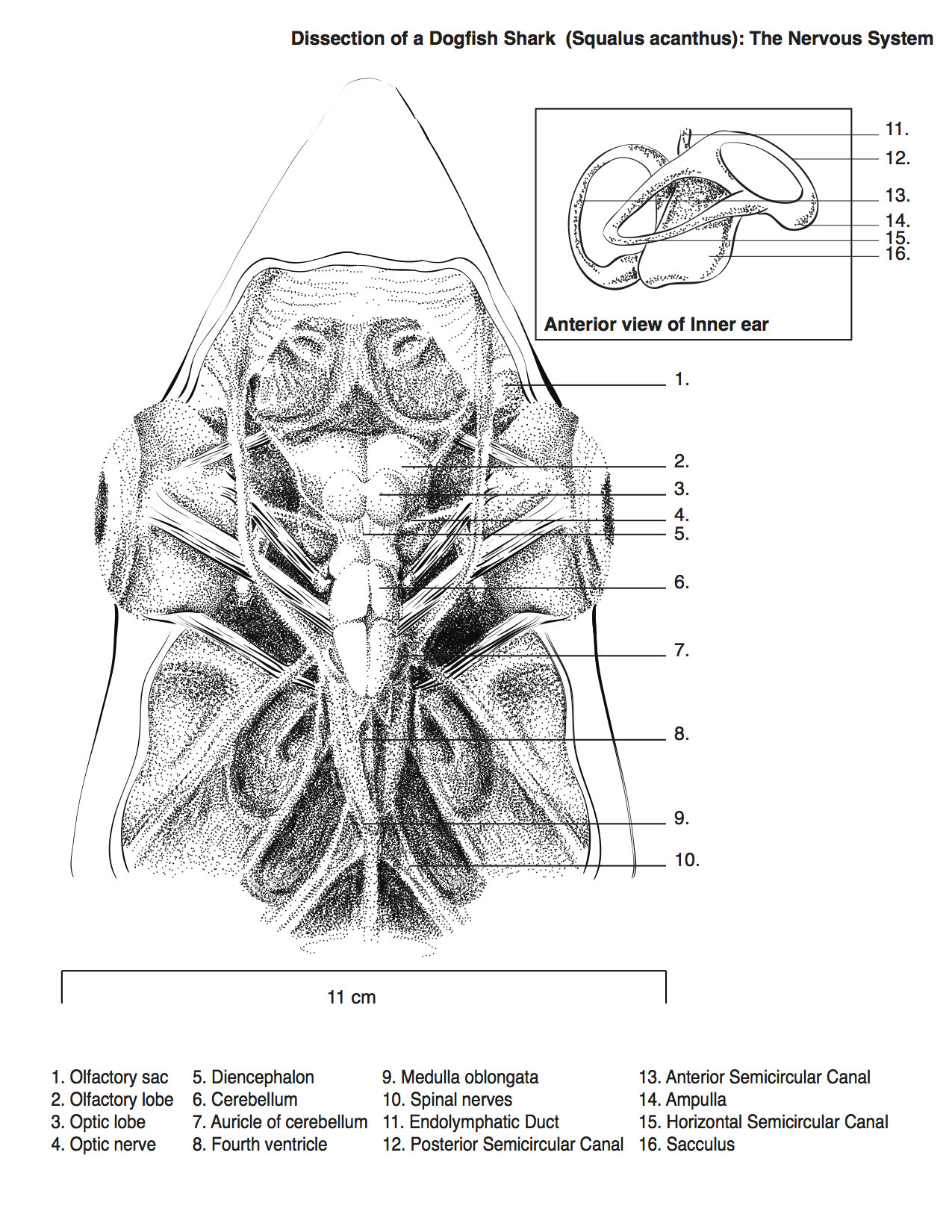 Spiny dogfish diagram - animalcarecollege.info