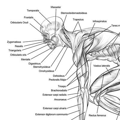 Diagram Of Triceps
