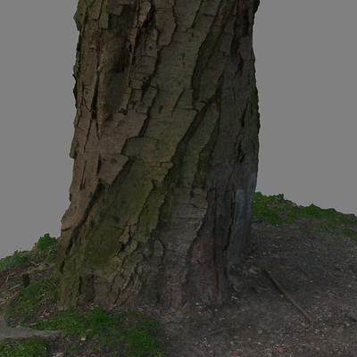 Mohsen behvar old tree