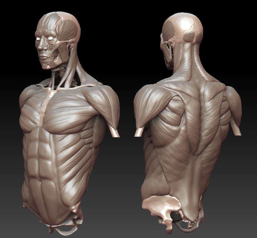 ArtStation - Torso Study 2017: Muscles, Jack Hamilton