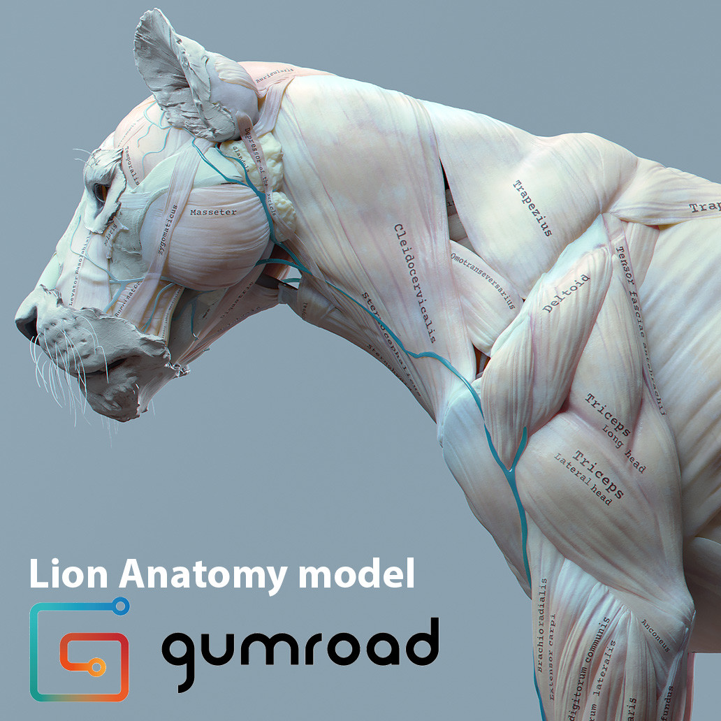 ArtStation - Lion anatomy, Maria Panfilova