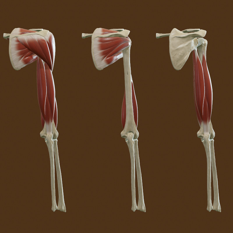 Realtime Muscles and Bones of the Upper Arm and the Shoulder