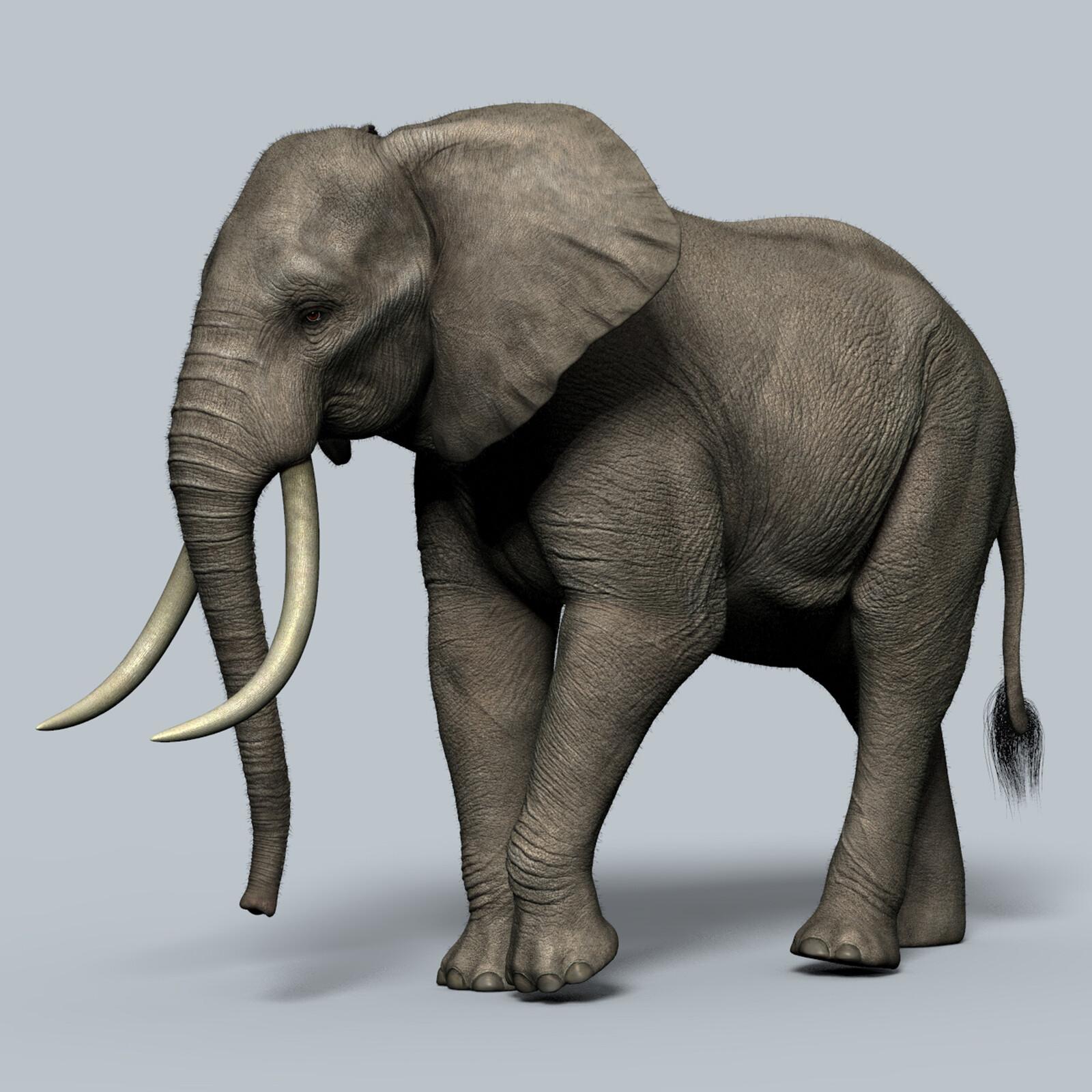 Adult African Elephant