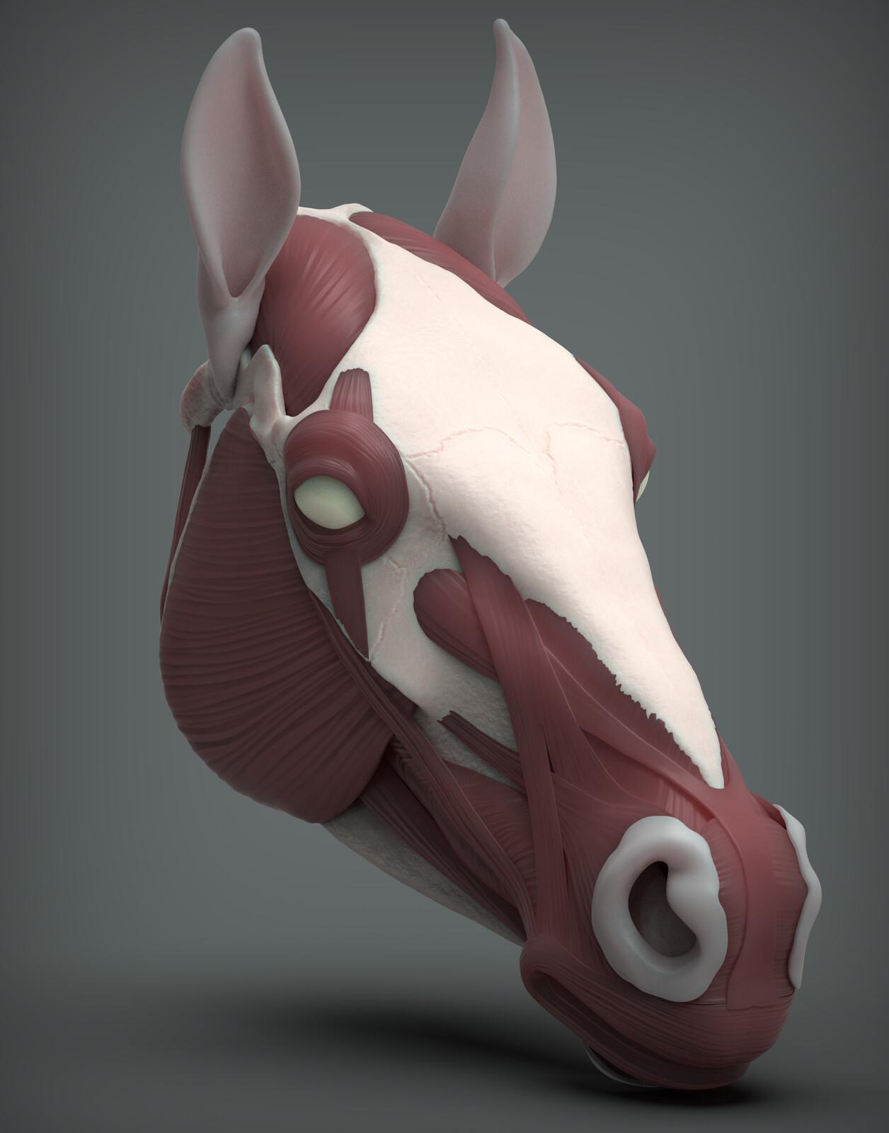 Horse Face Anatomy Study
