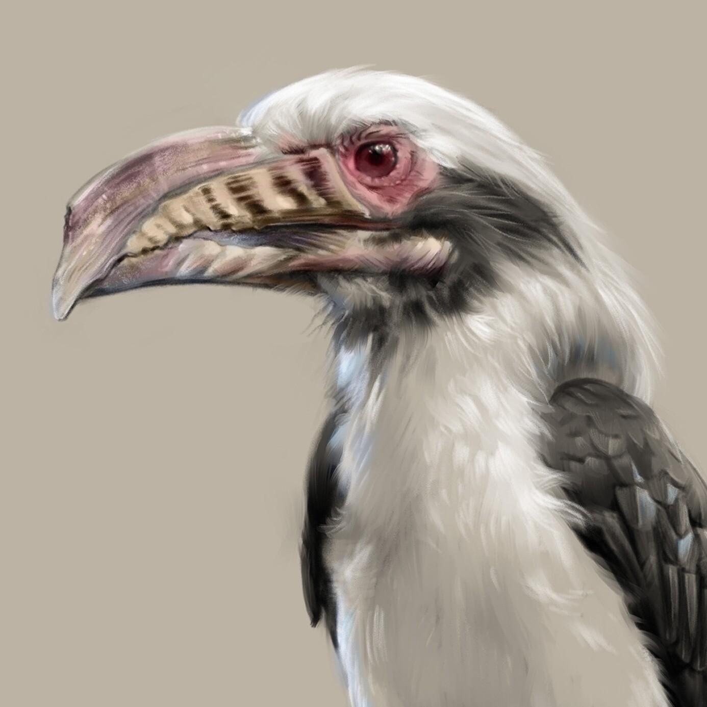 Visayan hornbill (Penelopides panini)