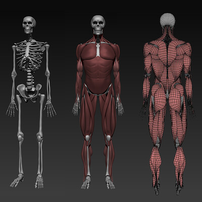 Anatomy Sculpture for Ziva VFX Pipeline (WIP)