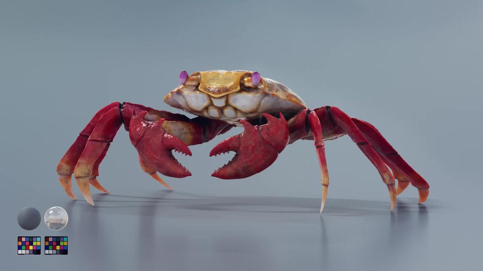 Red Rock Crab | Grapsus grapsus