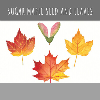 Sugar Maple Seed with Leaves