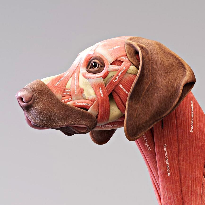Canine ecorche - Dog Anatomy