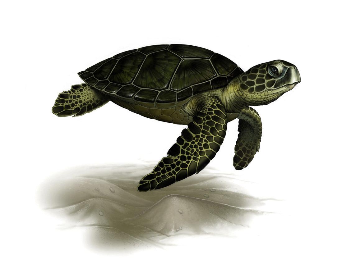 Картинки для детей черепаха морская