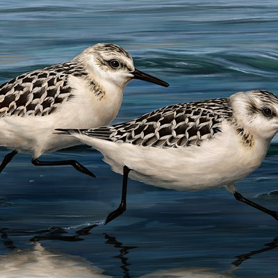 Martina nachazelova sanderlings