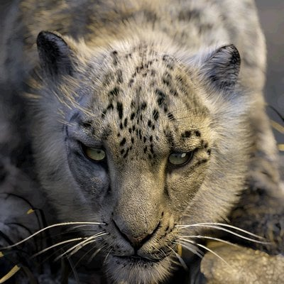 Jay howse snow leopard