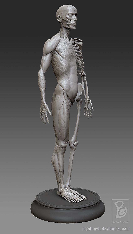Gabor Balla - male anatomy model