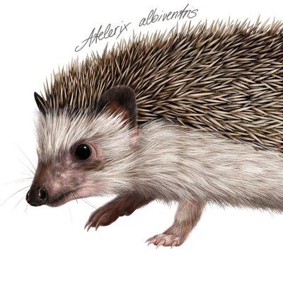 Martina nachazelova atelerix albiventris1 25