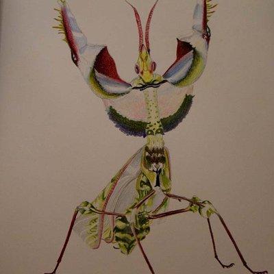 Vincent chiantelli devilflowermantisillustration