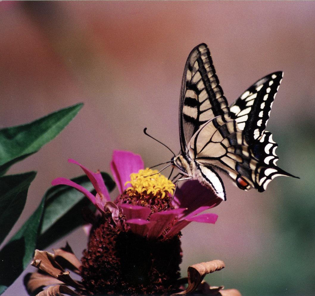 Nikolaos maragkos butterfly 003