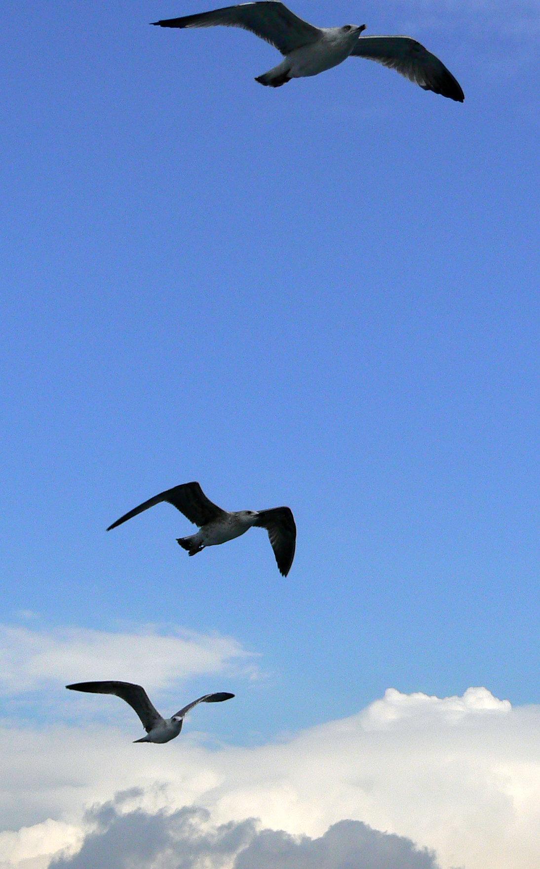Nikolaos maragkos seagulls 002