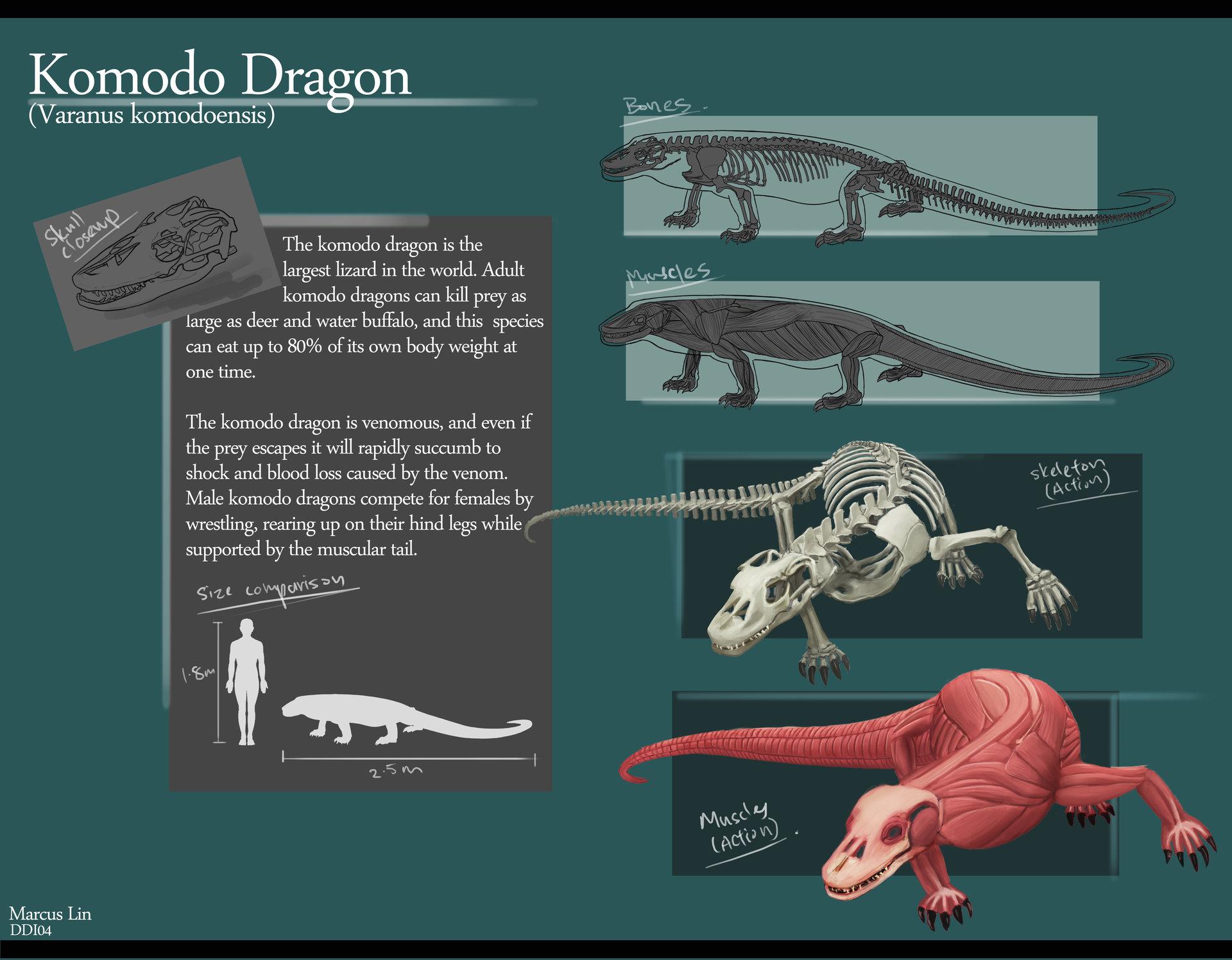 Marcus Lin - Komodo Dragon Anatomy Studies