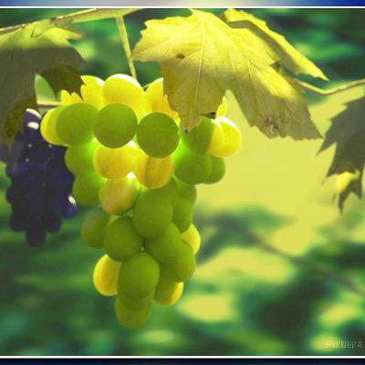Alex mikulka vinograd post