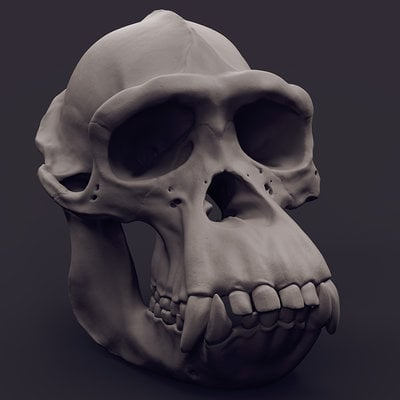 Daniel peteuil chimp skull 1