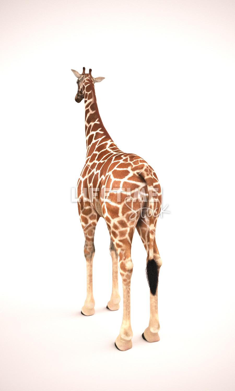 Marco baccioli giraffe 2front