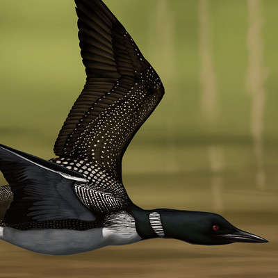 Martina nachazelova common loon25