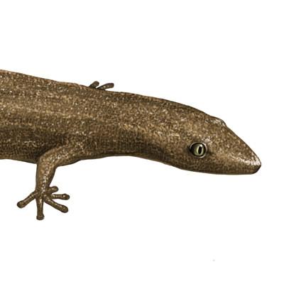Martina nachazelova sphaerodactylus williamsi20