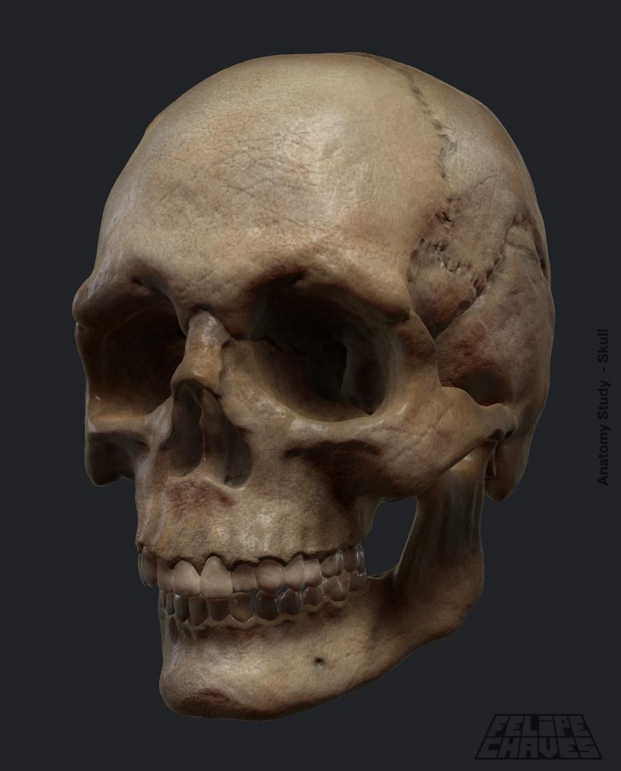 Anatomy Study - Skull