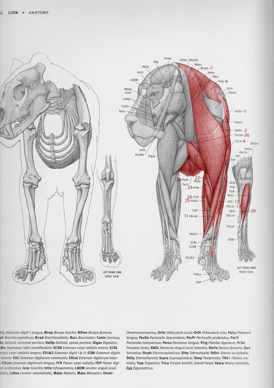 Jordi van hees lion anatomy chart front numbert