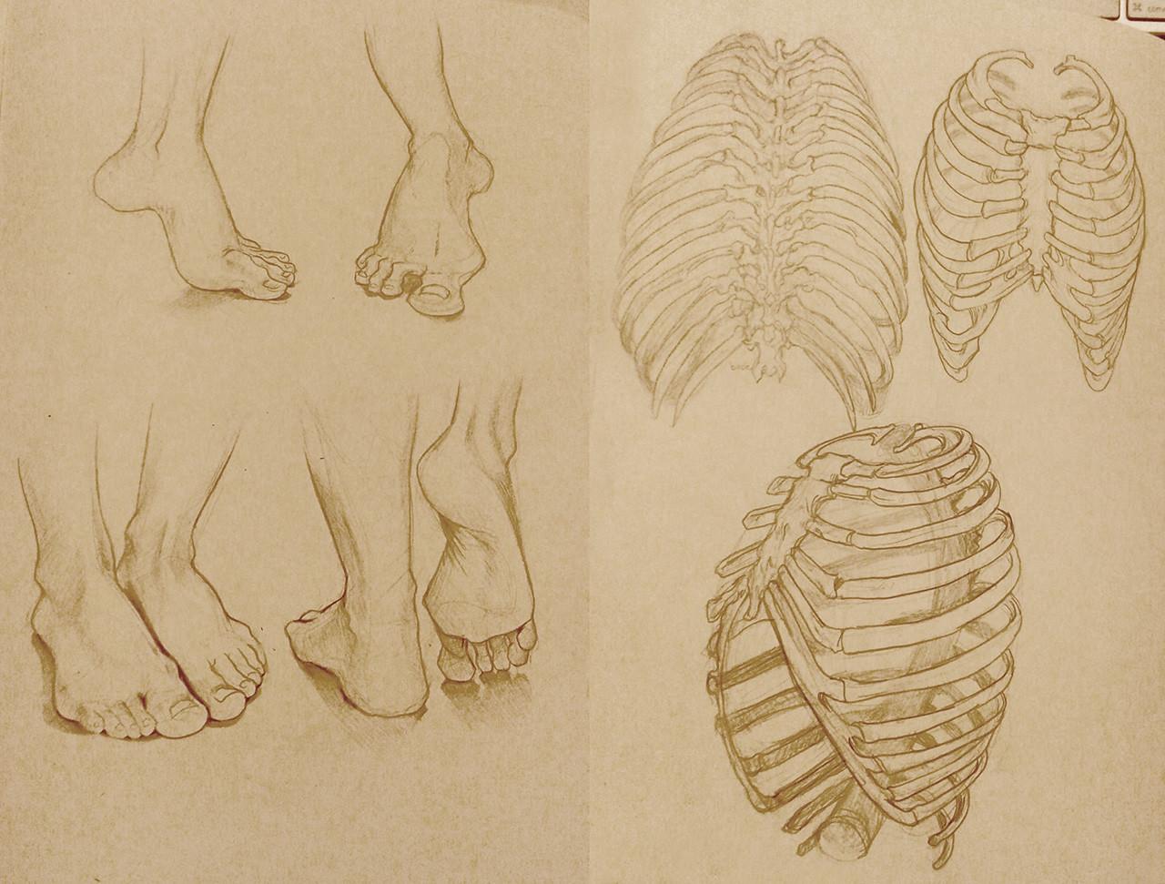 Stef tastan study anatomyfeetribs