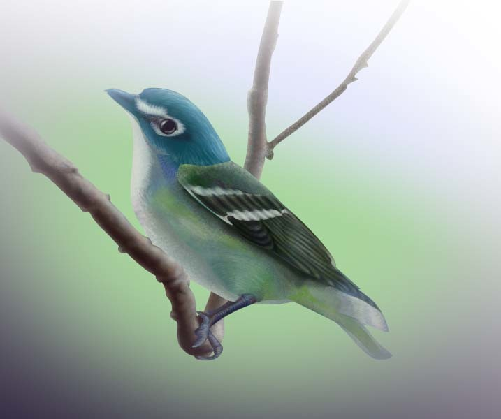 Pete dimenna art 310 blue headed vireo