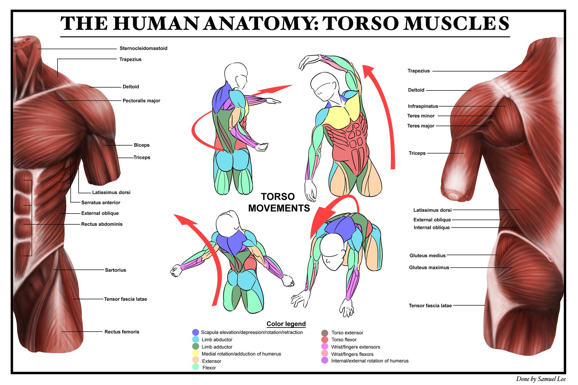 Samuel Lee - Torso anatomy study