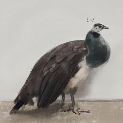 Guenter zimmermann peacock 02 kontraste