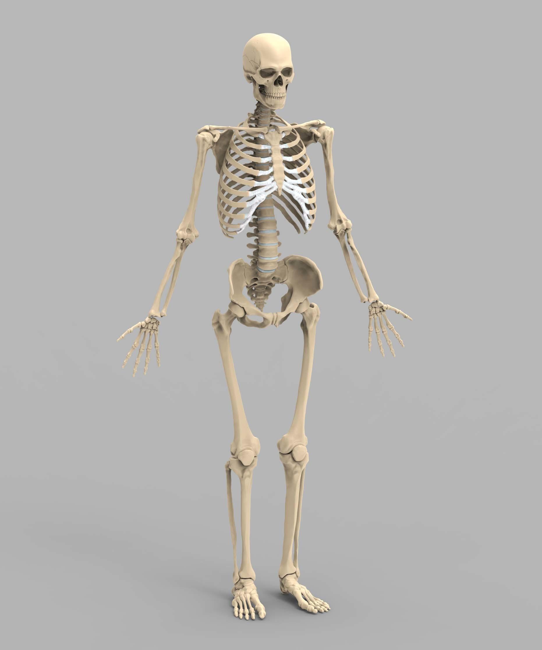 Dniel Gyrgy Ppai Male Anatomy Skeleton Test Render
