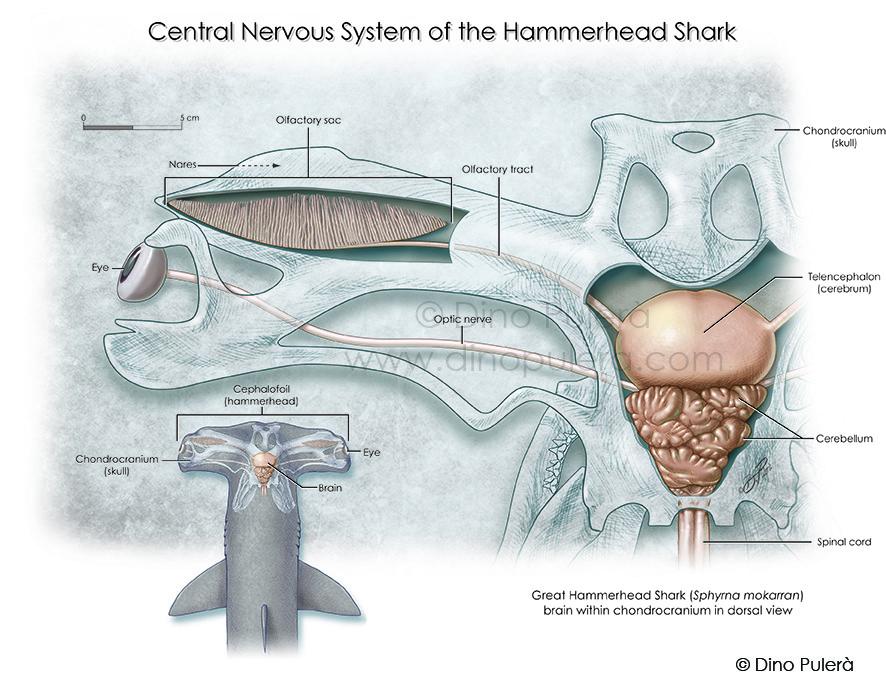 Dino puler animal anatomy dino pulera hammerhex shark neuroanatomy hammerhead shark brain ccuart Gallery