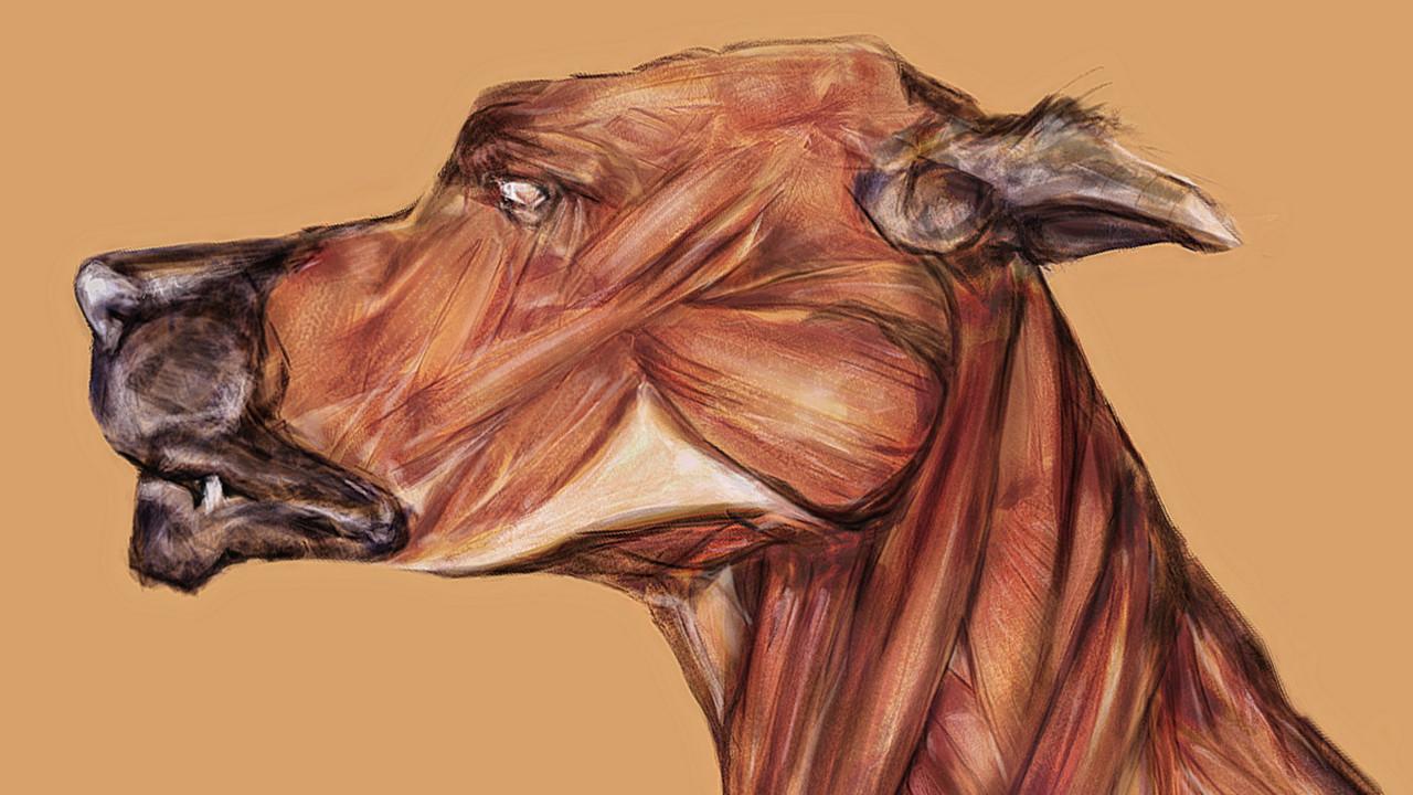 Szilágyi Szilárd - Dog Anatomy / Timelapse video anatomical drawing ...