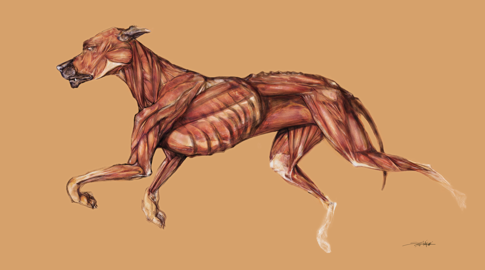 ArtStation - Dog Anatomy / Timelapse video anatomical drawing of a ...