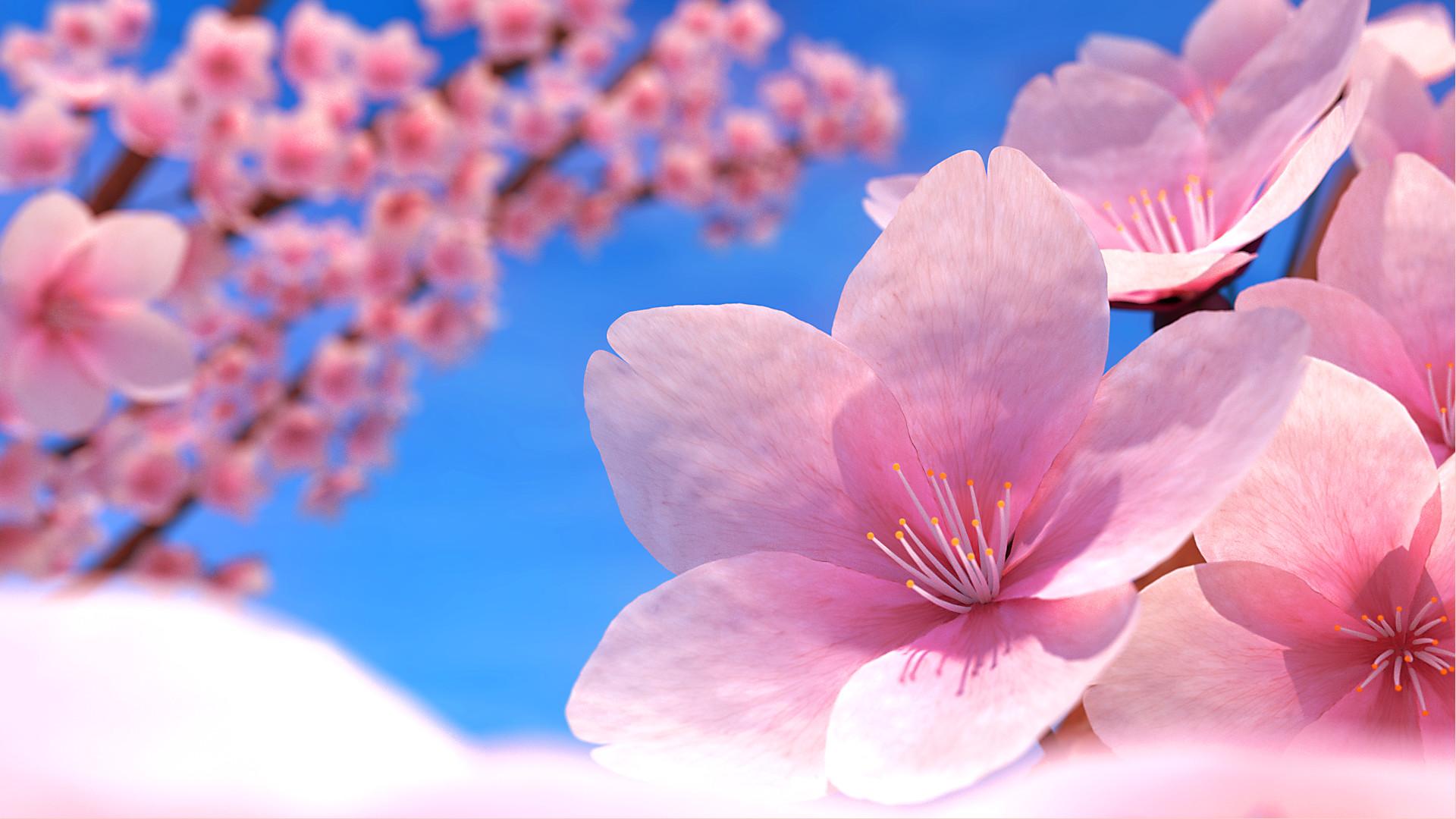 вишня цветение  № 2767206 загрузить