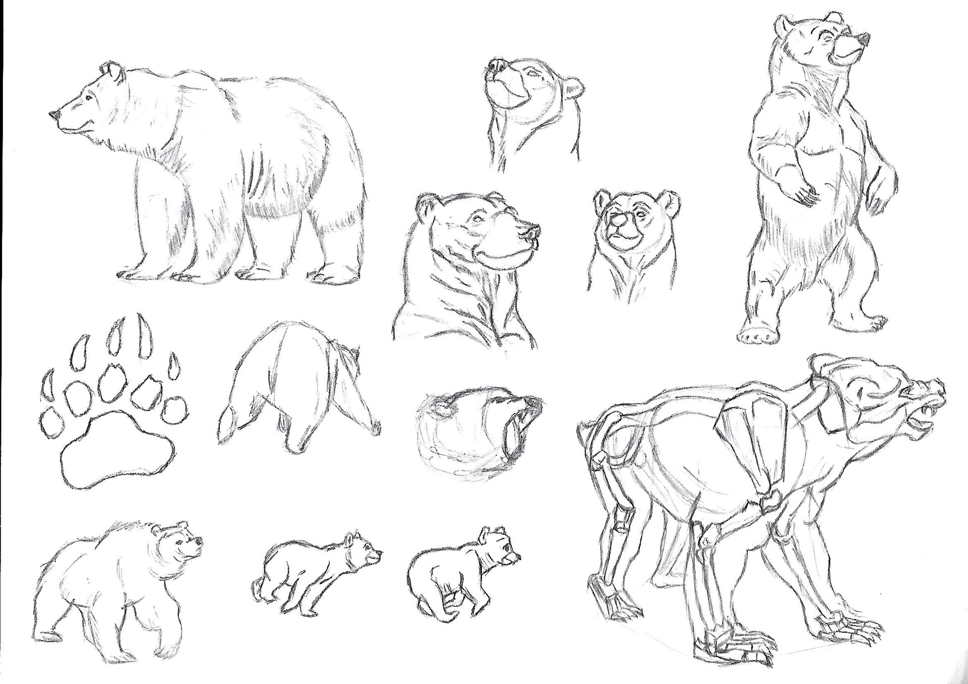 Iván Benito - Bear anatomy study