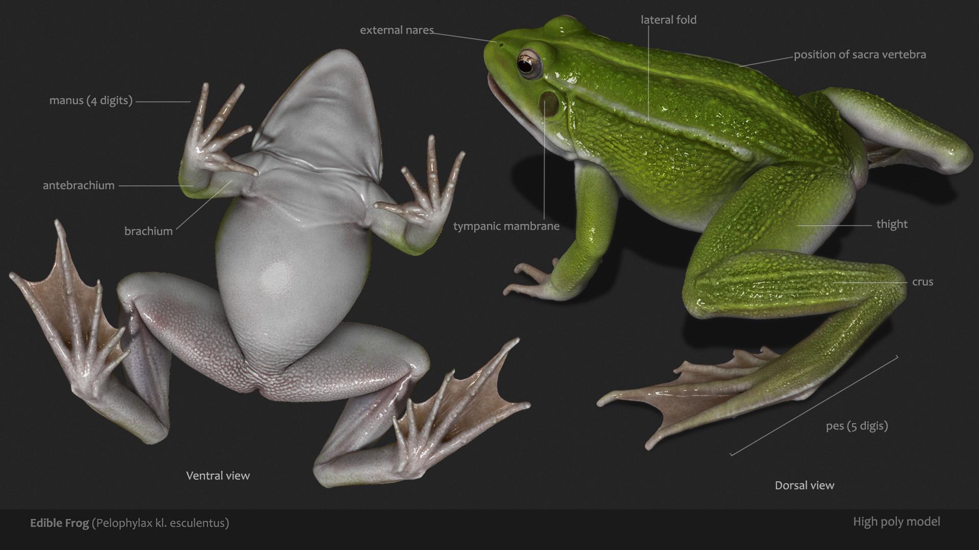 ArtStation - Amphibian anatomy (real time frog), Peter Hogya