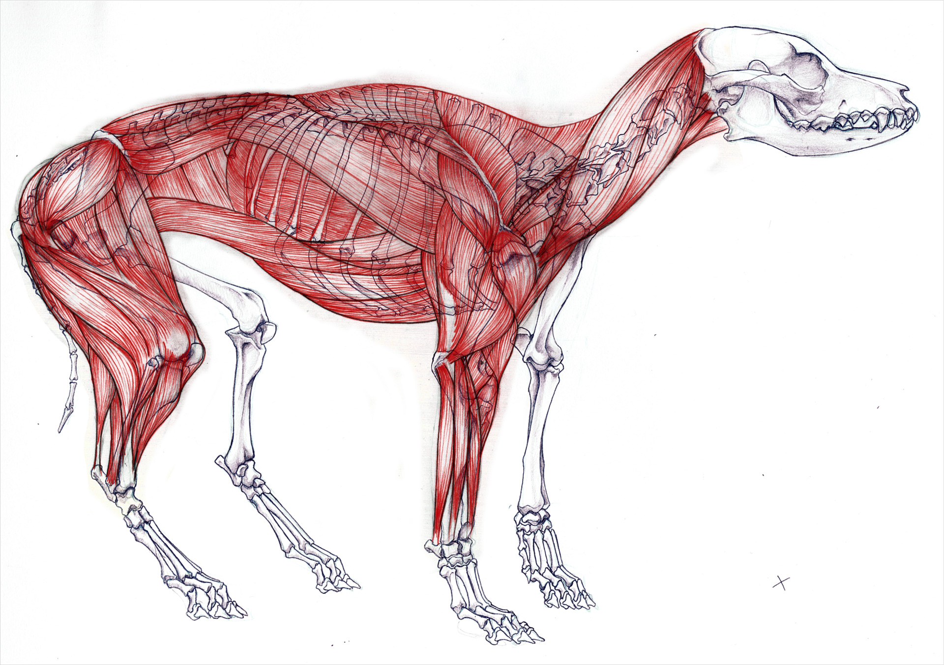 Chris Guo - Anatomy study - Dog