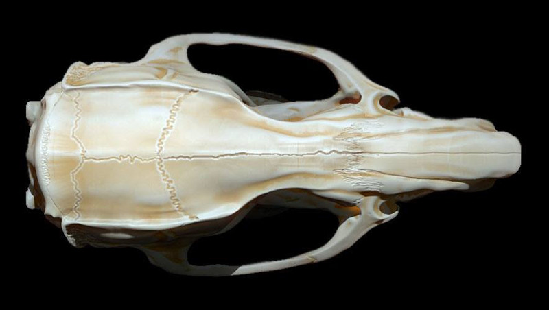 Mieke roth schedel