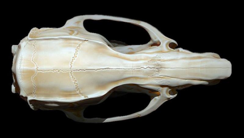 Mieke Roth Rat Anatomy
