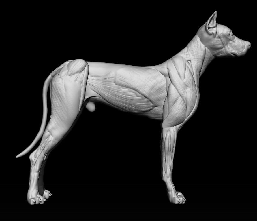 Jeremy COTO - anatomy Dog skin