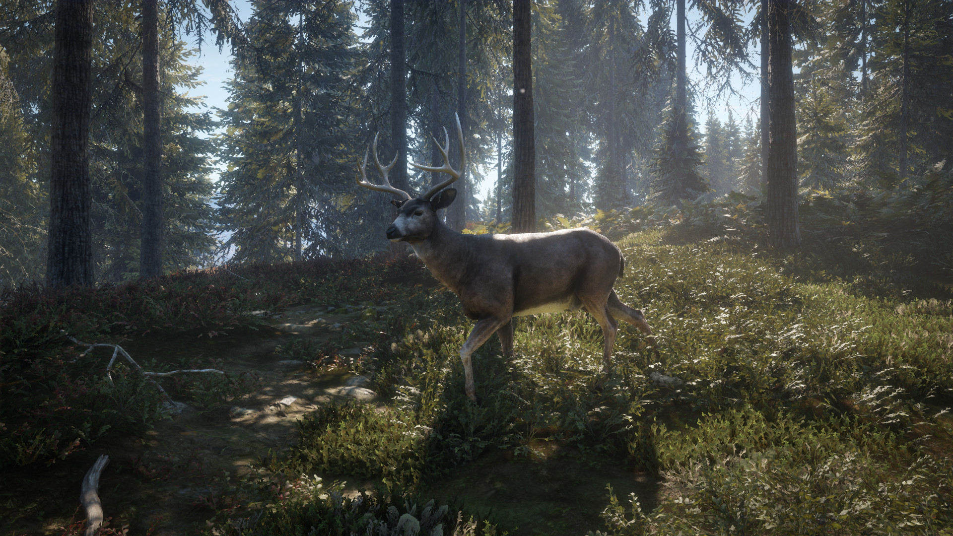 Blacktail Deer