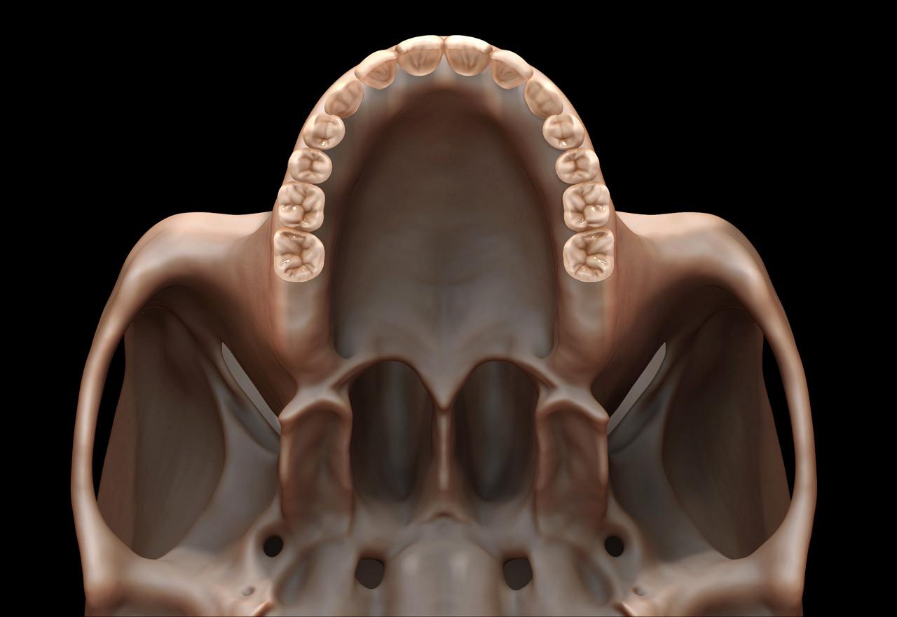 Teeth anatomy study
