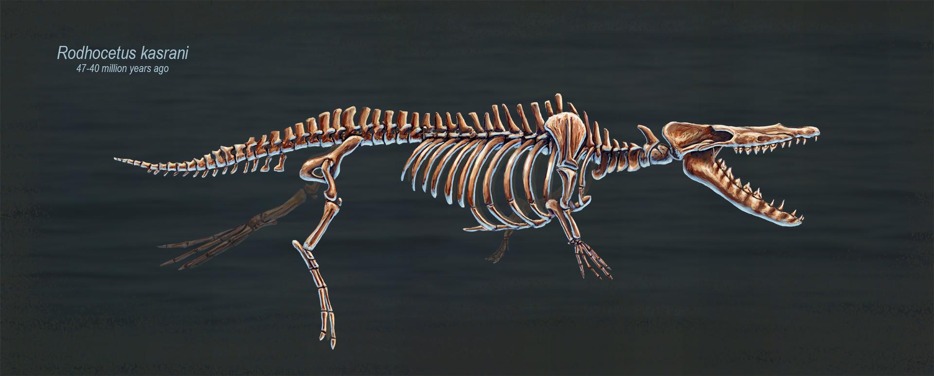 ArtStation - Rodhocetus Kasrani Skeletal Study, Rushelle ...
