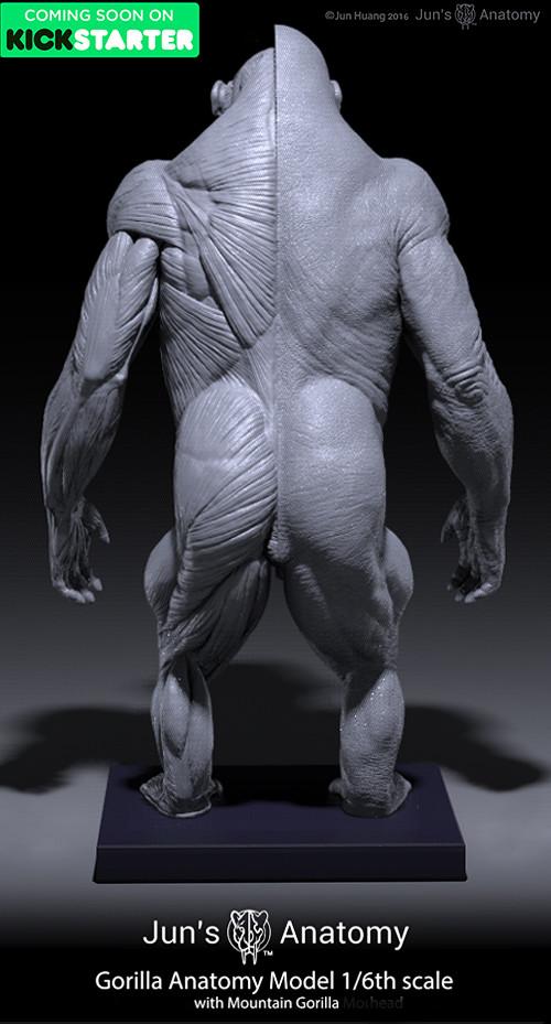 Artstation Gorilla Anatomy Models Jun Huang