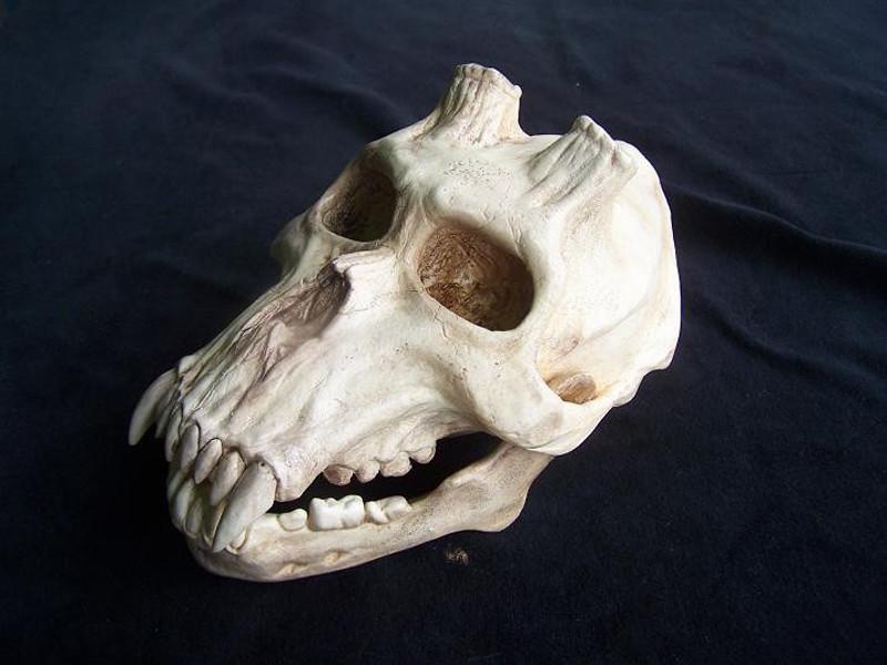 Charles wills chupacabra skull 80s30r 77640 1324065936 1280 1280