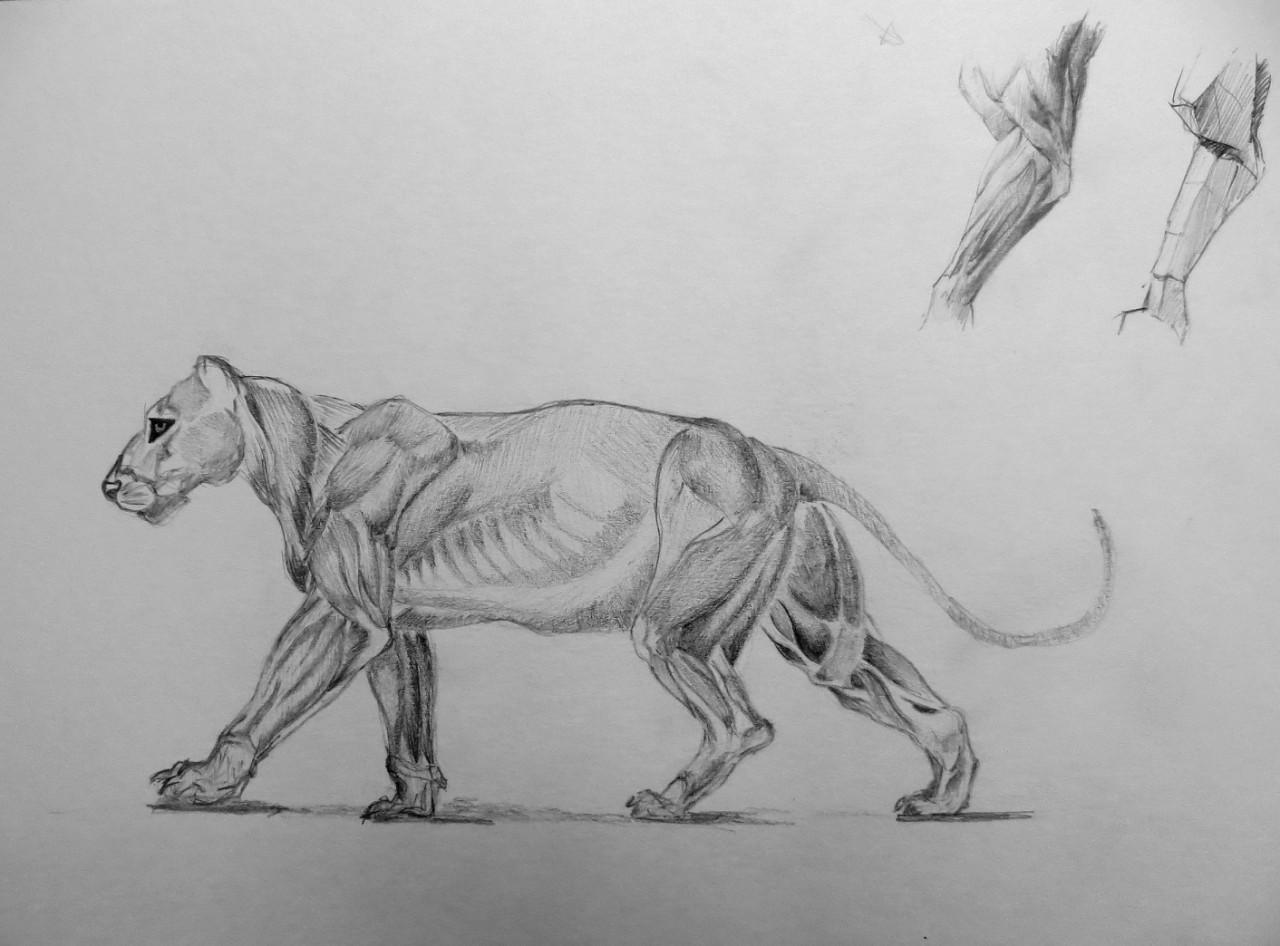 Kalina Mladenova Lion Anatomy Study